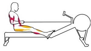 Kürek antrenmanında (Rowing) bitiş aşamasında çalışan kaslar kırmızı, esneyen ve gevşeyen kaslar sarı ile gösterilmiştir.